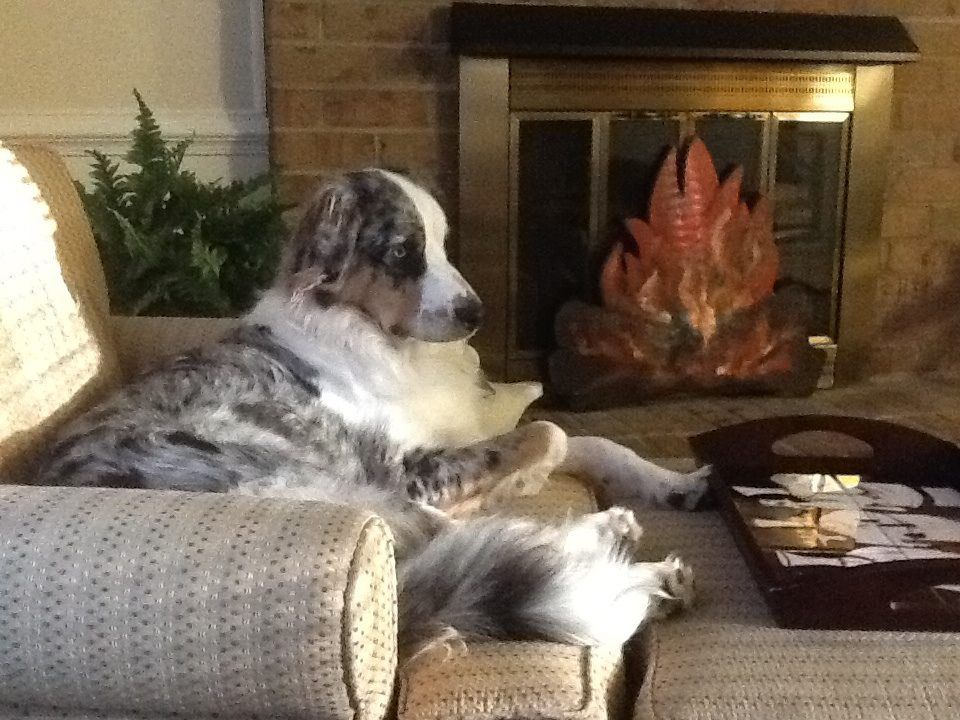 Benny My Aussie With The Tail Australian Shepherd Dogs Pets