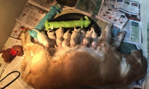 3 4 English American Golden Retriever Puppies Www Risasgoldens