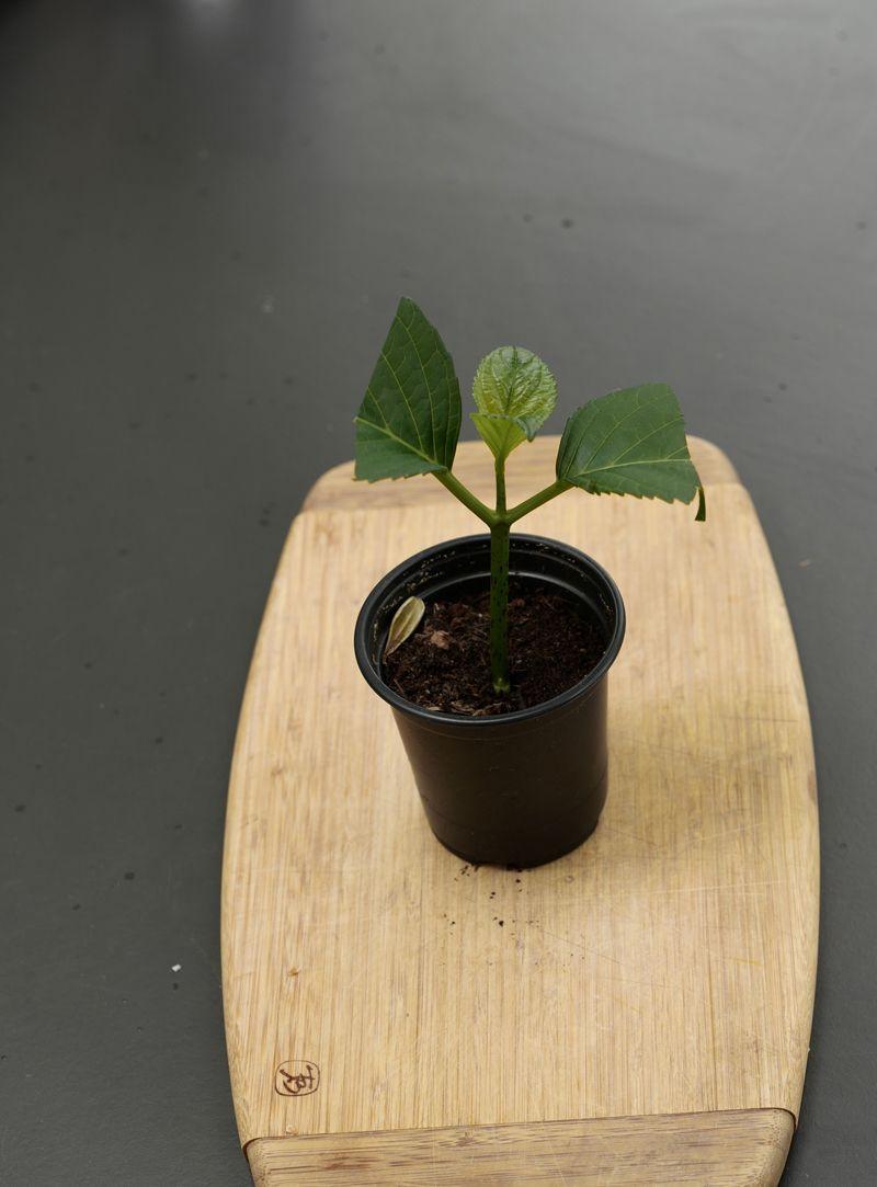 Hortensien vermehren #hortensienvermehren