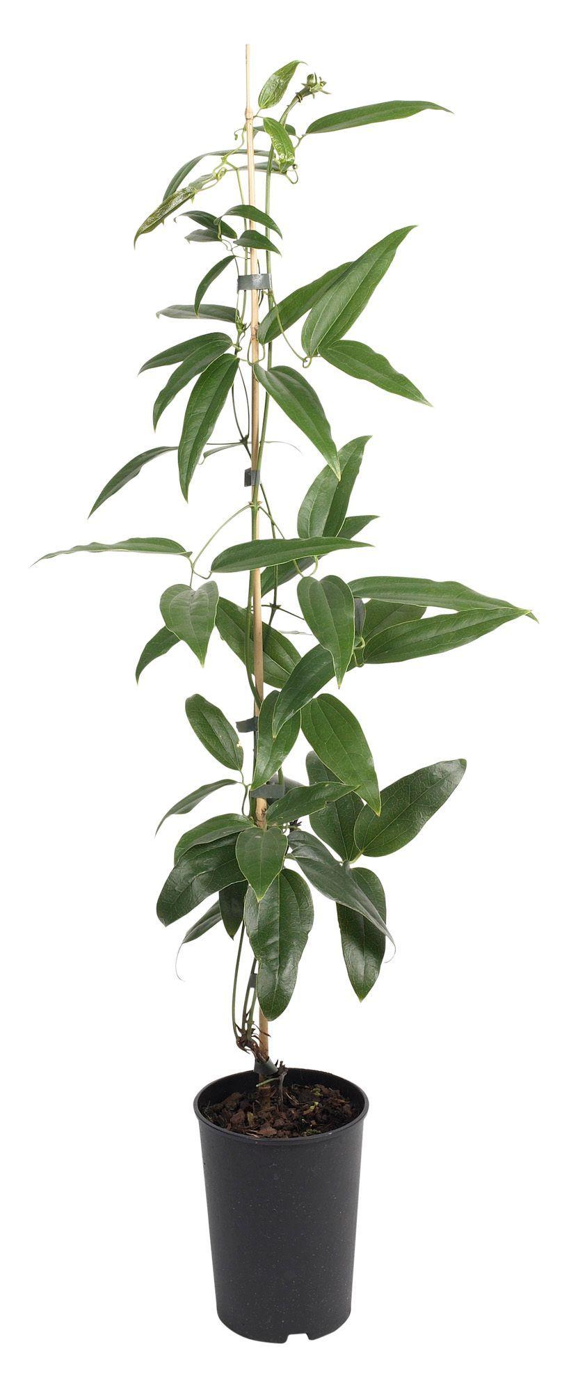 B&Q Clematis Armandii Cane In Plant Pot | Departments | DIY at B&Q