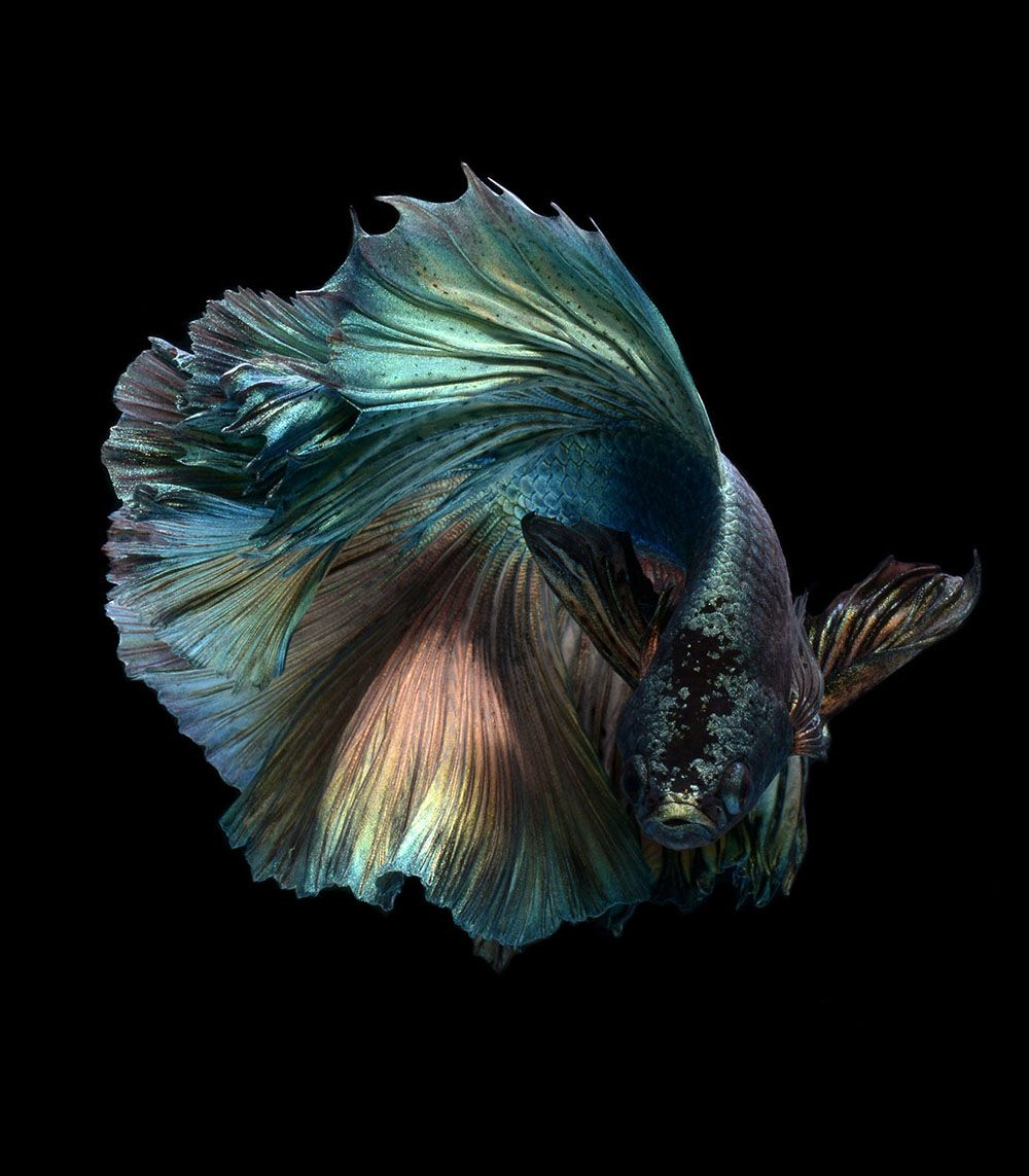 Ah yes the majestic goldfish photographer visarute for Why do betta fish fight