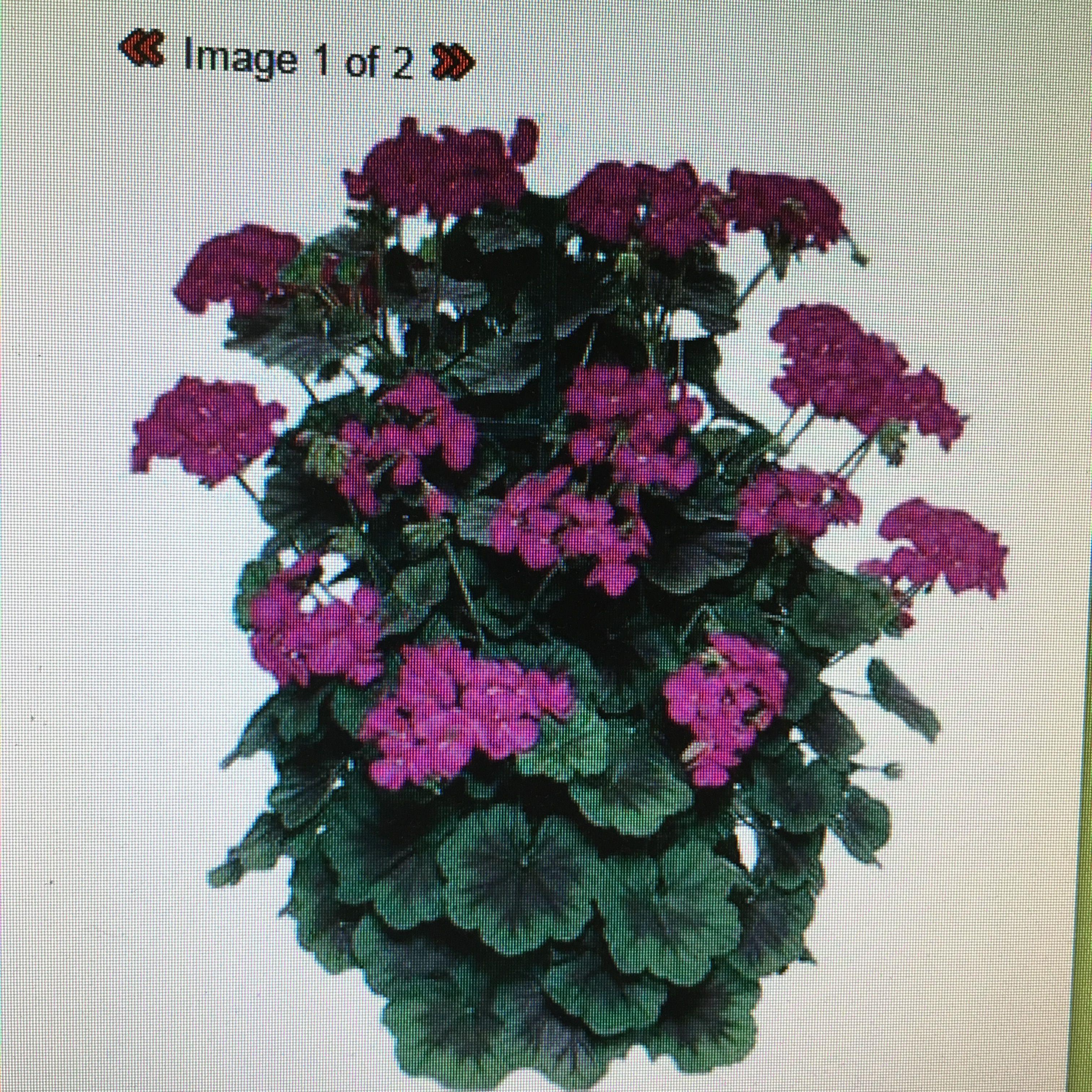 geranium zonal pillar series pillar violet | garden planning 2017