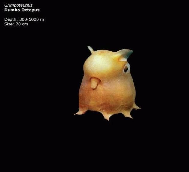 Mariana trench dumbo octopus octopus pinterest mariana creatures sciox Image collections