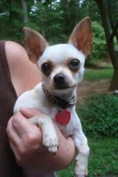 Adopt Tiki And Taco On Chihuahua Love Cute Animals Chihuahua Dogs