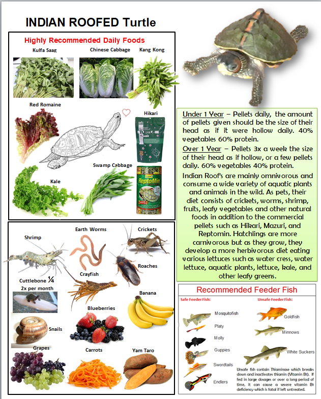 Indian Roofed Turtle Food Poster Turtle Turtle Care
