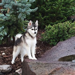 Here's why they're totally the best. | 17 Reasons Alaskan Klee Kais Are The Best Dogs In The World