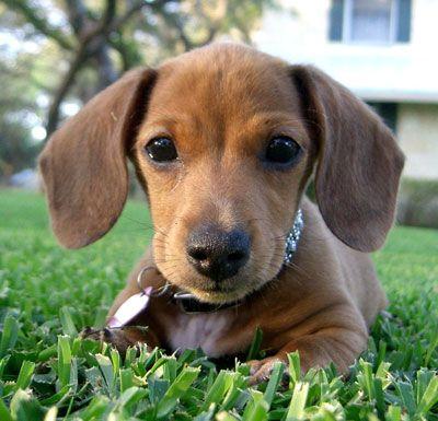 Sasha Mini Dachshund Dachshund Breed Dachshund Puppies Puppies