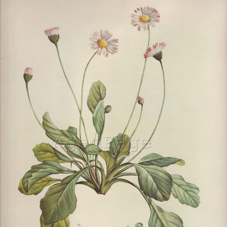 Il Fullxfull 343926590 Jpg 1500 1500 Botanical Drawings Botanical Illustration Botanical Art