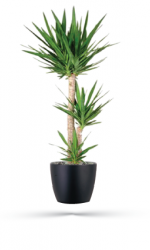 Yucca Botanical Name: Yucca elephantipes Common Name: Yucca, Yucca Cane Application: Floor Plant Light Requirement: High Notes: The soft-tip Yucca cultivar is excellent in high light interior spaces.