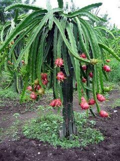 "Yellow Dragon Fruit 1 Rooted Plant Pitahaya Cactus Propagation Plant 12/"" Tall"