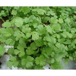 Coriandru in ghiveci   Plante Aromatice in Ghiveci   Arome si Gusturi Naturale