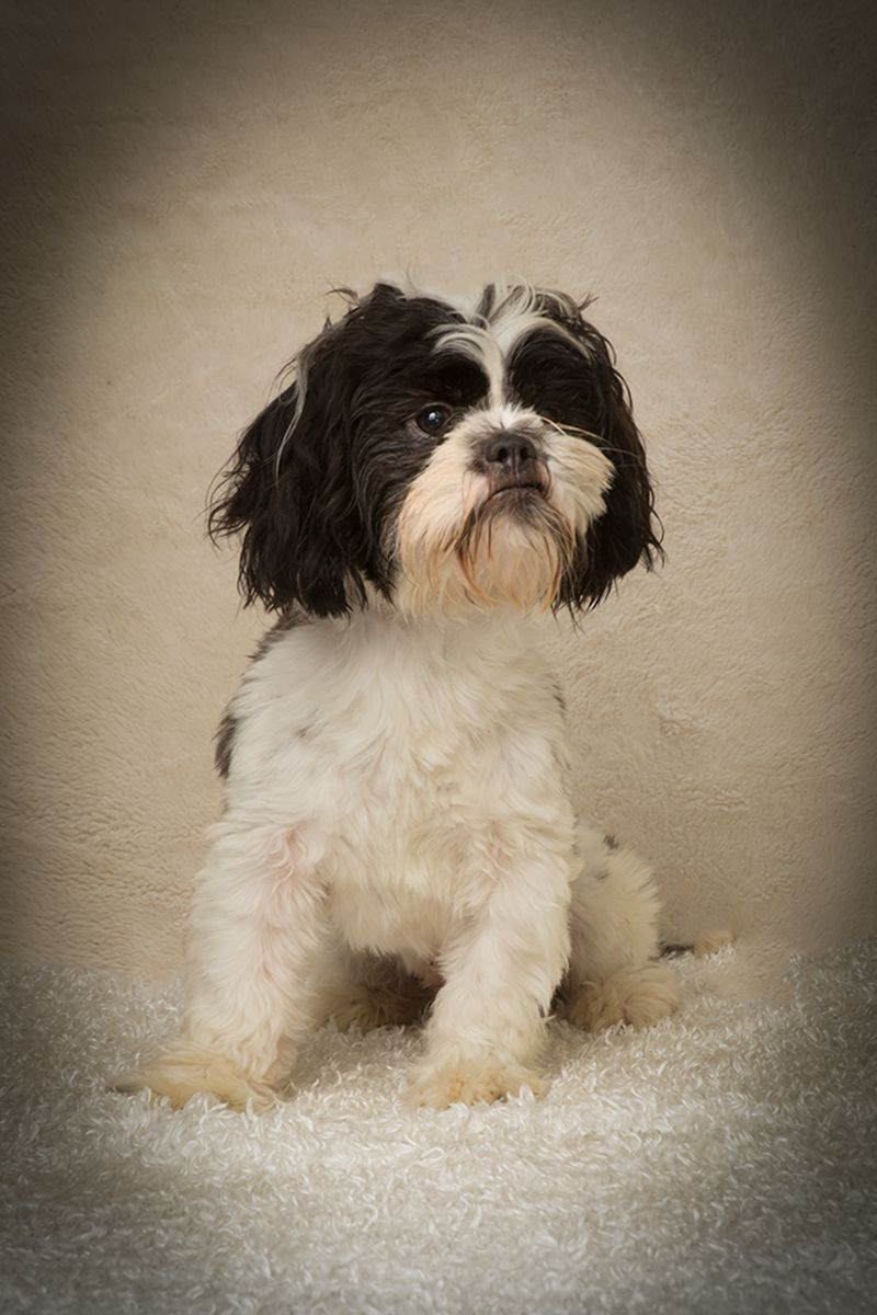 Shih Tzu dog for Adoption in Weston, FL. ADN326191 on