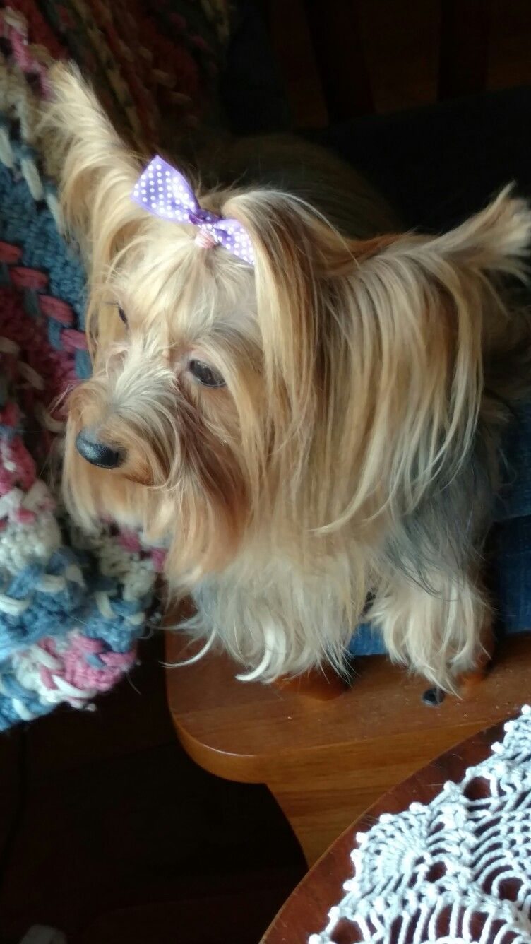 Ginger Looking Pretty How To Look Pretty Yorkie Pretty