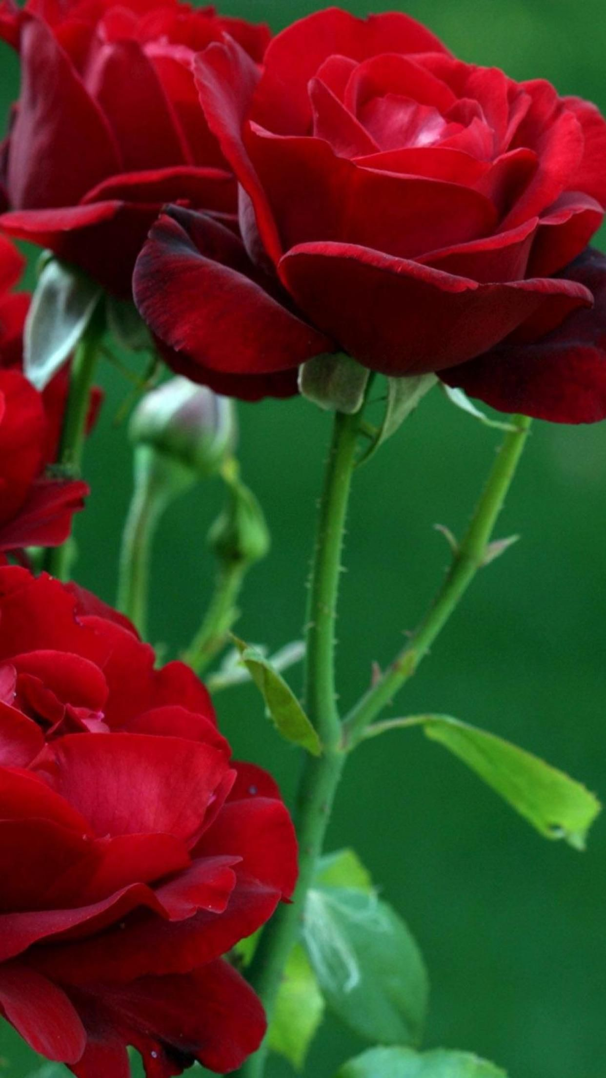 Beautiful Wallpaper Mobile Red Rose - 329a1af4749a6266d01ec162ffde54a4  Pictures_83641.jpg