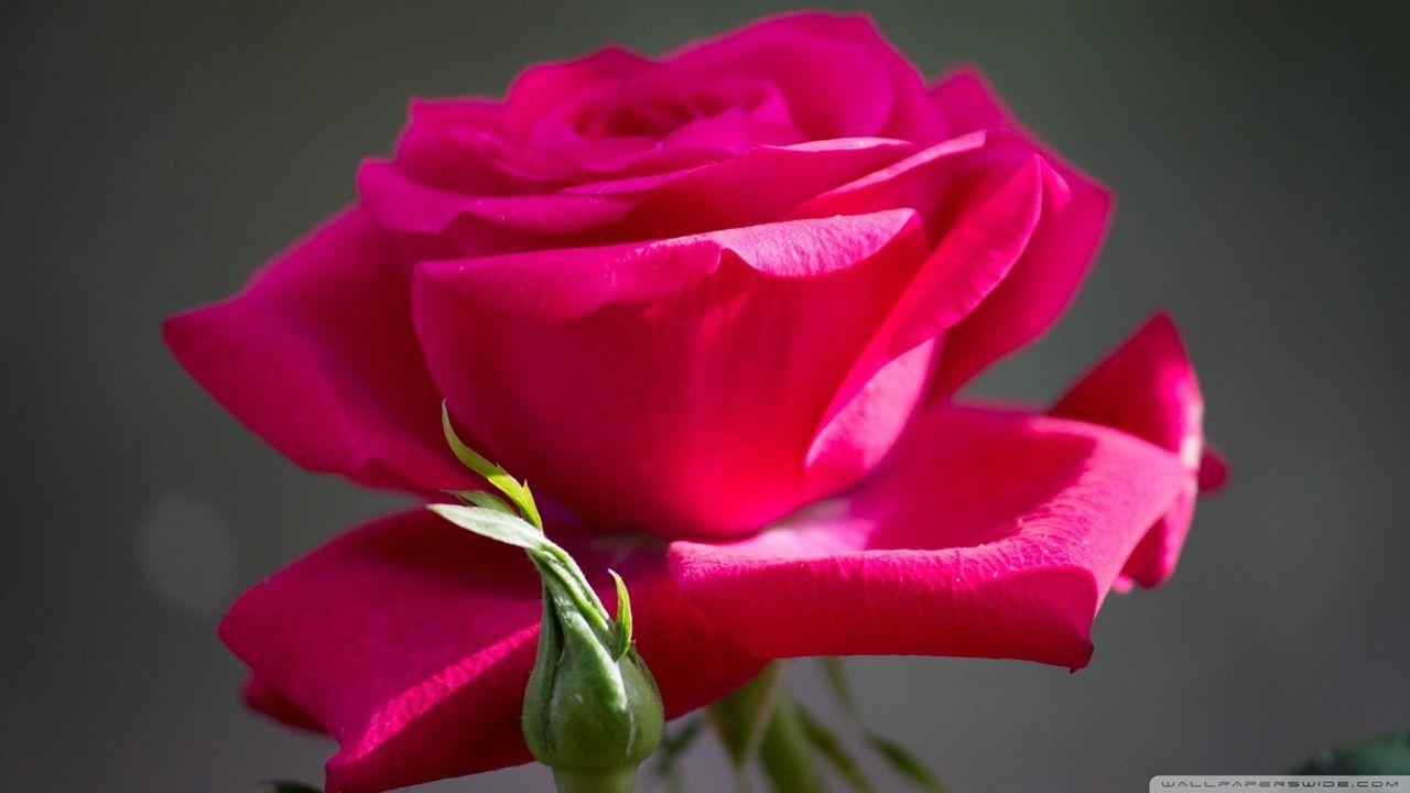 Single But Simply Fantastic Beautiful Rose Flowers Beautiful Flowers Beautiful Roses