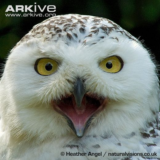 Snowy owl with open beak (With images) | Snowy owl, Owl ...