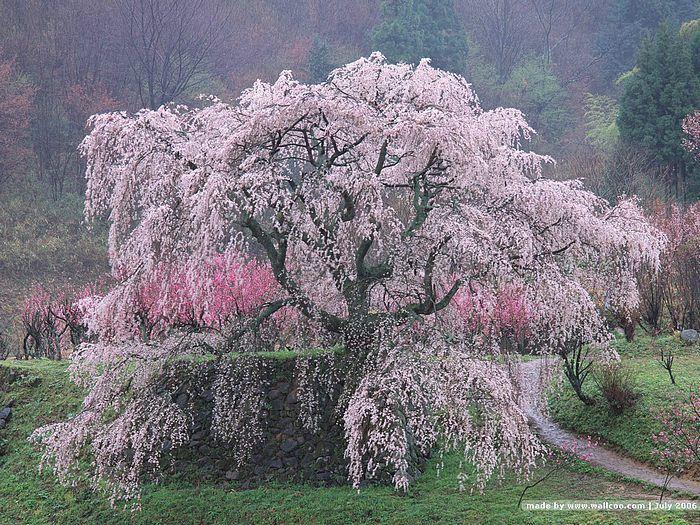 Wheeping cherry sideyard plantings etc pinterest spring wheeping cherry mightylinksfo