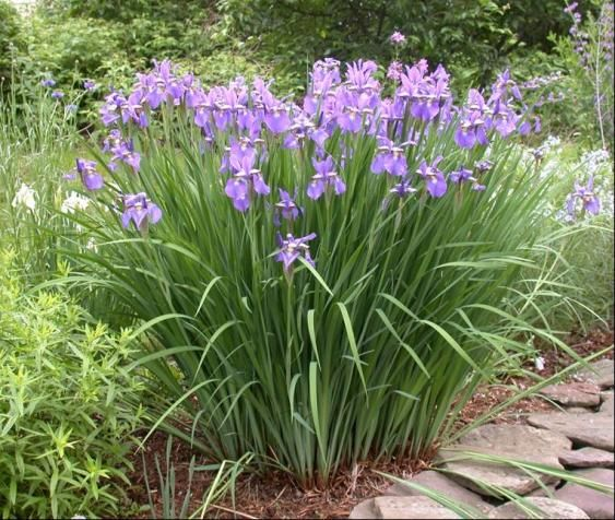 Iris plant google search landscaping pinterest iris and plants iris plant google search mightylinksfo