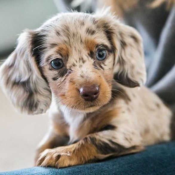 Pin By Terry Leasure On Dogs Dachshund Puppies Daschund Puppies