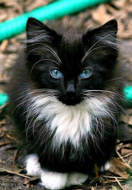 Blue Eyed Beauty I Want It Beautiful Cats Kittens Cutest