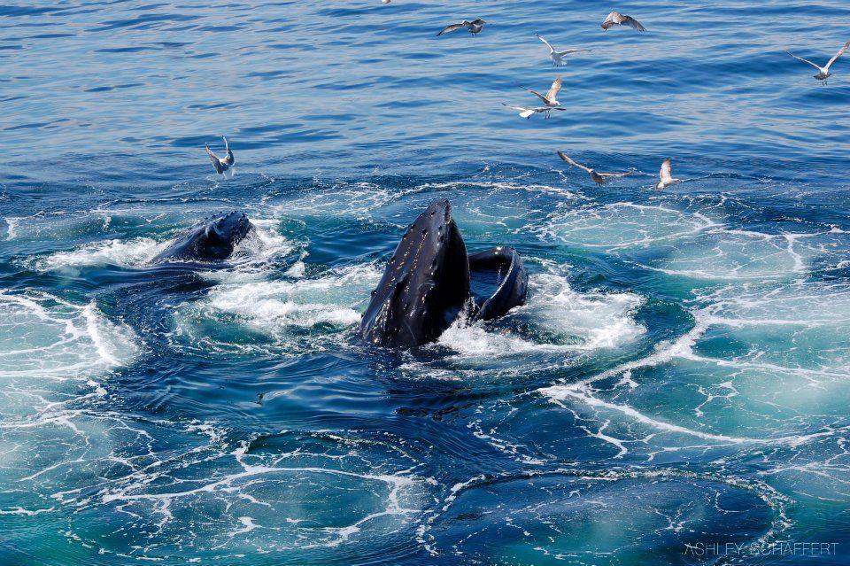 Humpback Whales feeding | Whales | Pinterest