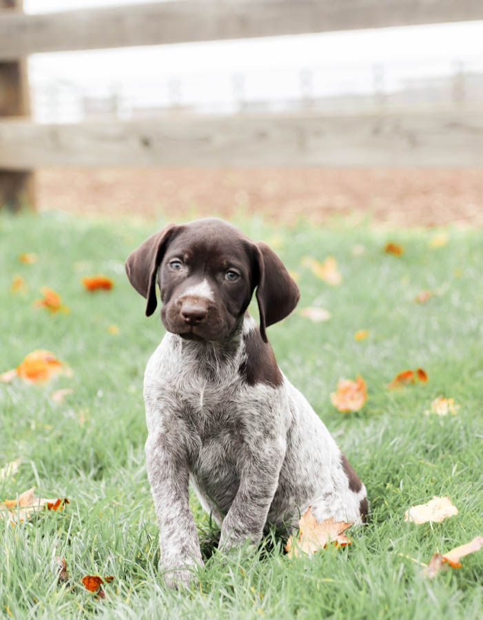 💜🌞#Beautiful, #Happy, and #FullofLife... these darling #GermanShorthairedPointer puppies are #extremelyfun and #charmingpals to have. Their #caringhearts make for a #loyalbestfriend who will always be close by. #Charming #PinterestPuppies #PuppiesOfPinterest #Puppy #Puppies #Pups #Pup #Funloving #Sweet #PuppyLove #Cute #Cuddly #Adorable #ForTheLoveOfADog #MansBestFriend #Animals #Dog #Pet #Pets #ChildrenFriendly #PuppyandChildren #ChildandPuppy #LancasterPuppies www.LancasterPuppies.com