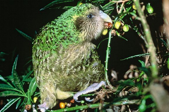 The world's rarest parrot Kakapo saved from extinction new hope has been obtained. New Zealand living flightless parrots have received this year 36 cubs.