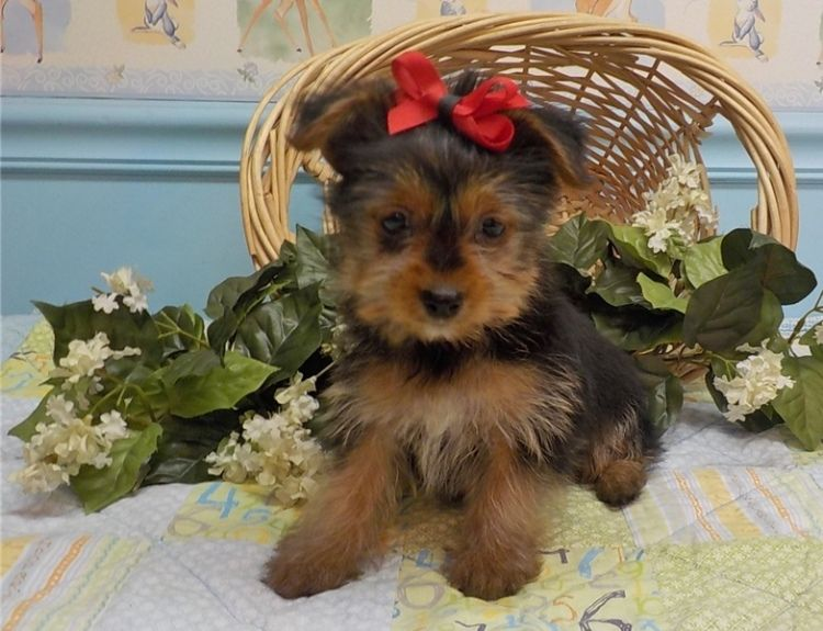 Male and female teacup Pups for rehoming. They are up to