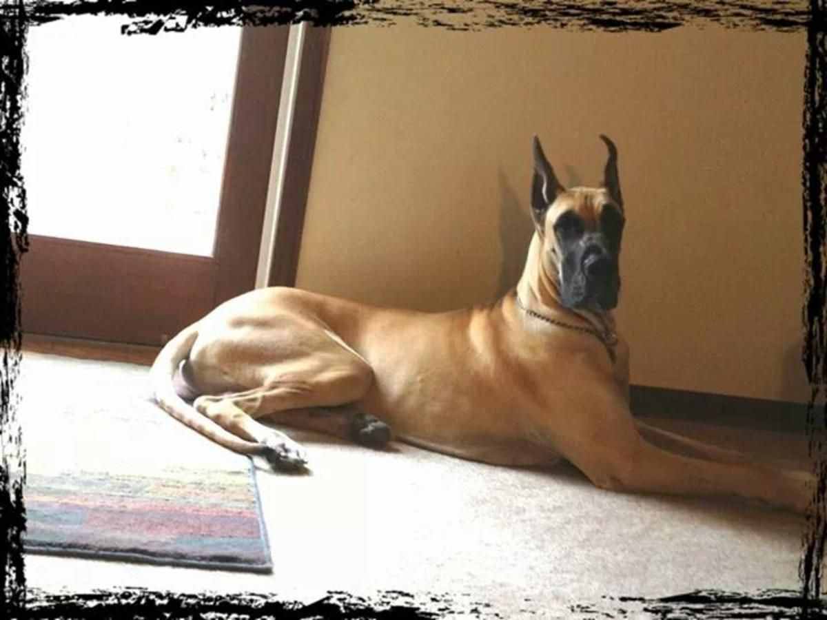 Great Dane 19 Puppies Akc Female Fawn With Black Mask Great Dane