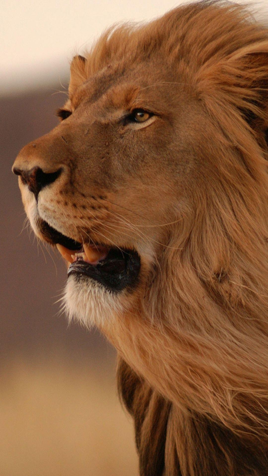Big Cats - Lion