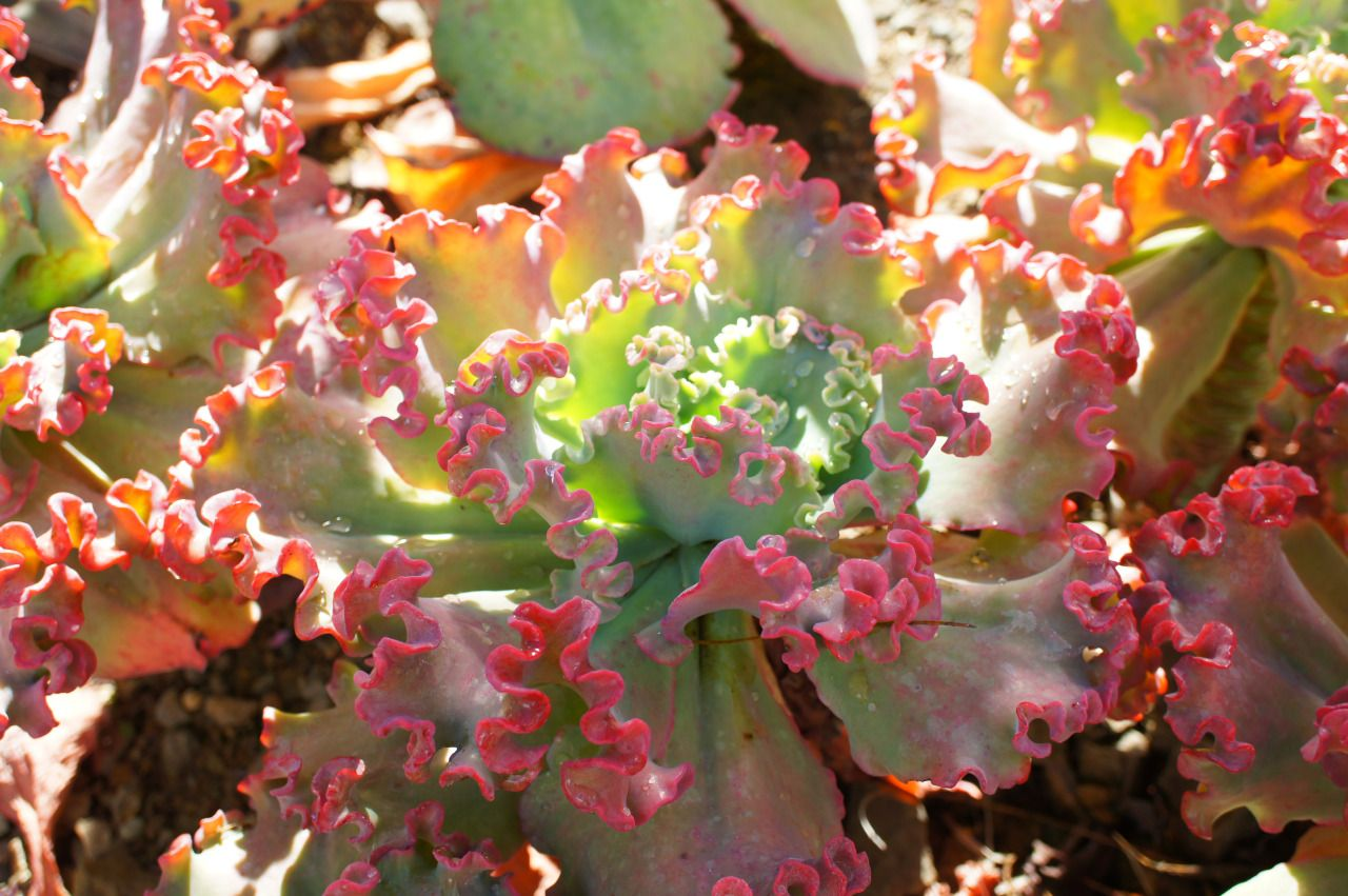 "flora-file: ""Echeveria 'Lace' (by flora-file) """