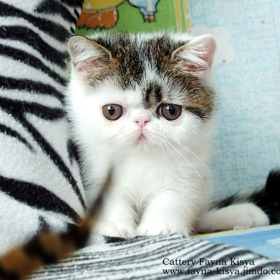 Пин на доске New exotic shorthair kittens available for sale