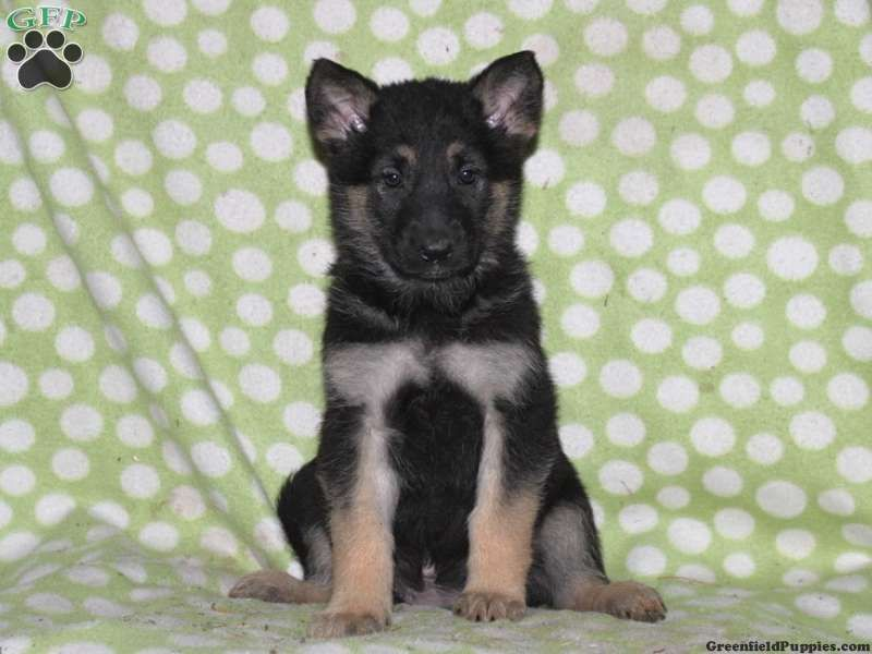 Samantha German Shepherd Puppy For Sale From Oxford Pa German