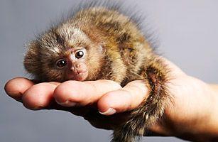 Pygmy marmoset aka finger monkey aka cutest little animal ever!!