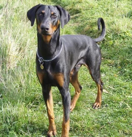 Long Undocked Tail Doberman Dobermann Pinscher Doberman
