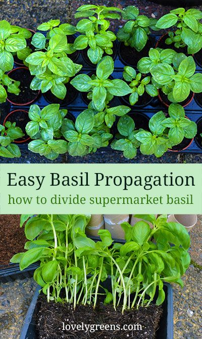 How To Grow Grocery Store Basil Plants Propagation Growbasil Herbs Growing Vegetables Basil Plant Planting Herbs