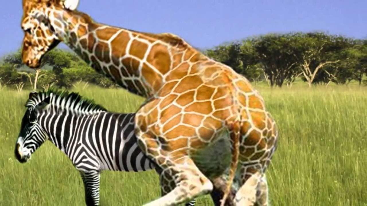 zebra wildlife documentary   youtube giraffes