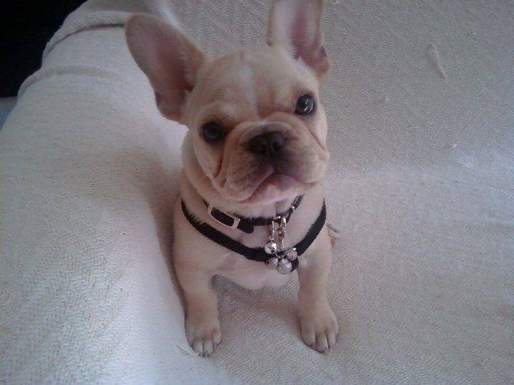 Frenchbulldoggy Com In Northern Bay Area California French