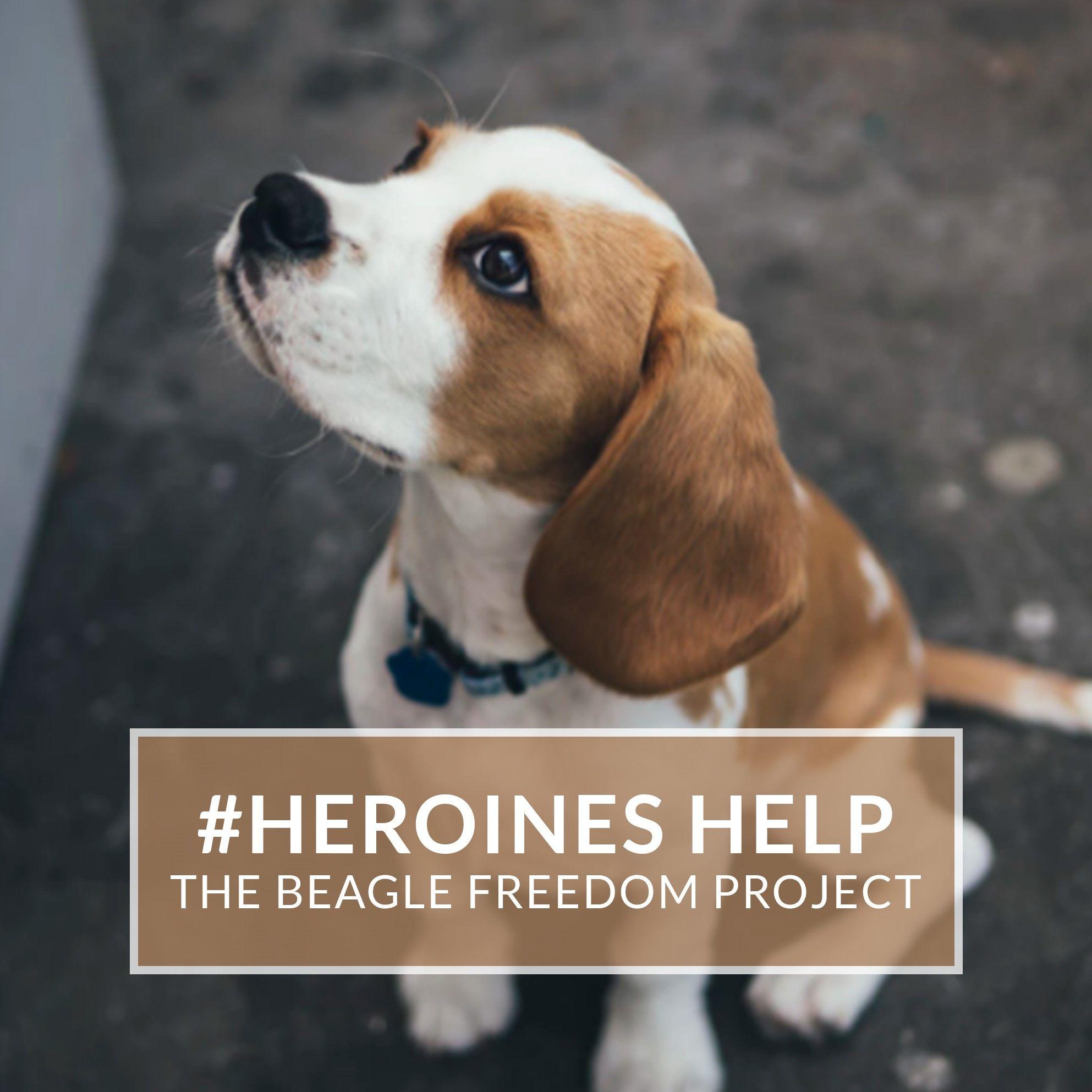 Heroineshelp The Beagle Freedom Project Beagle Beagle Breeds