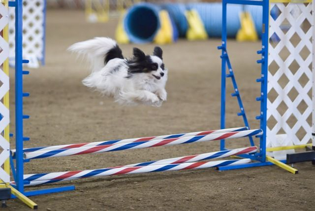 Papillon Dog Agility Jump