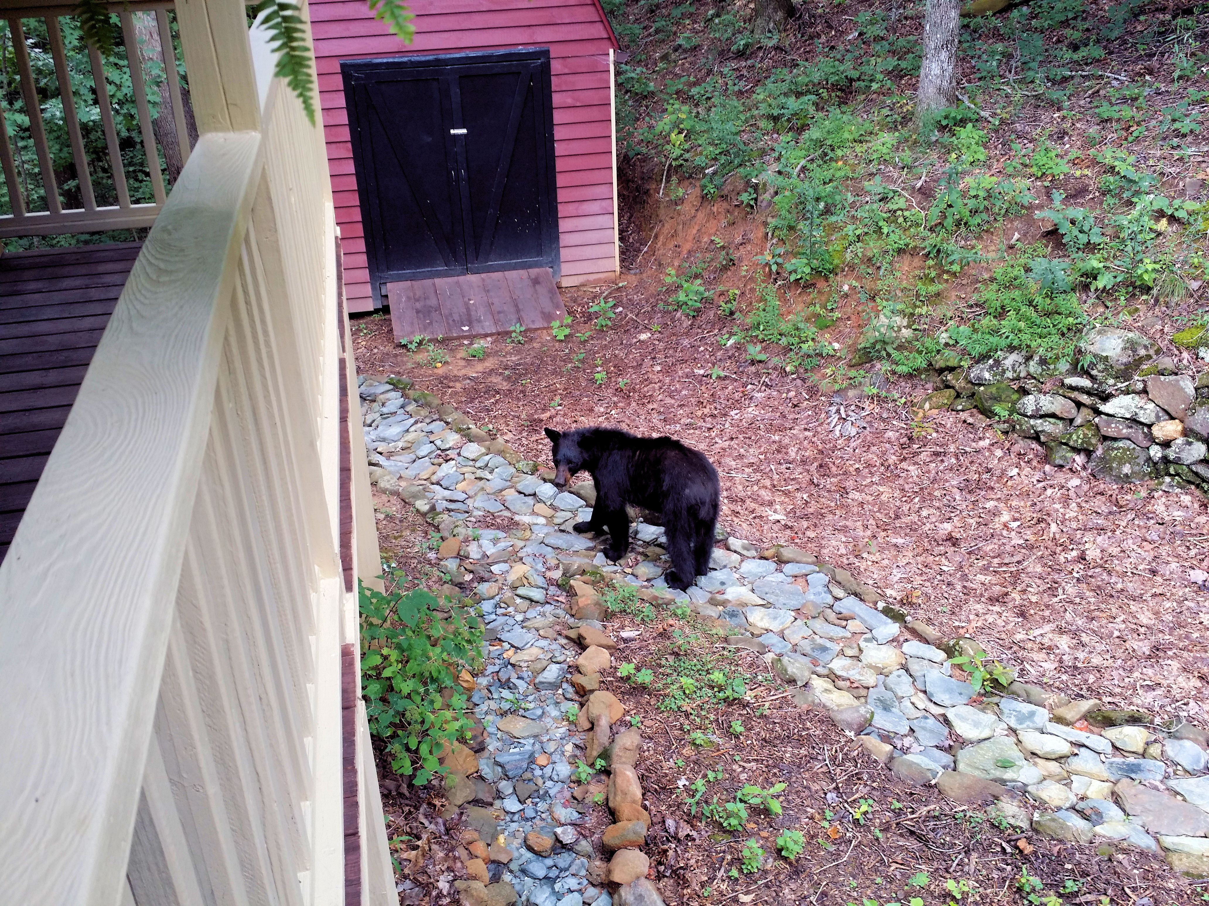 Young black bear in front yard (Aug 5 2018).   Home ...