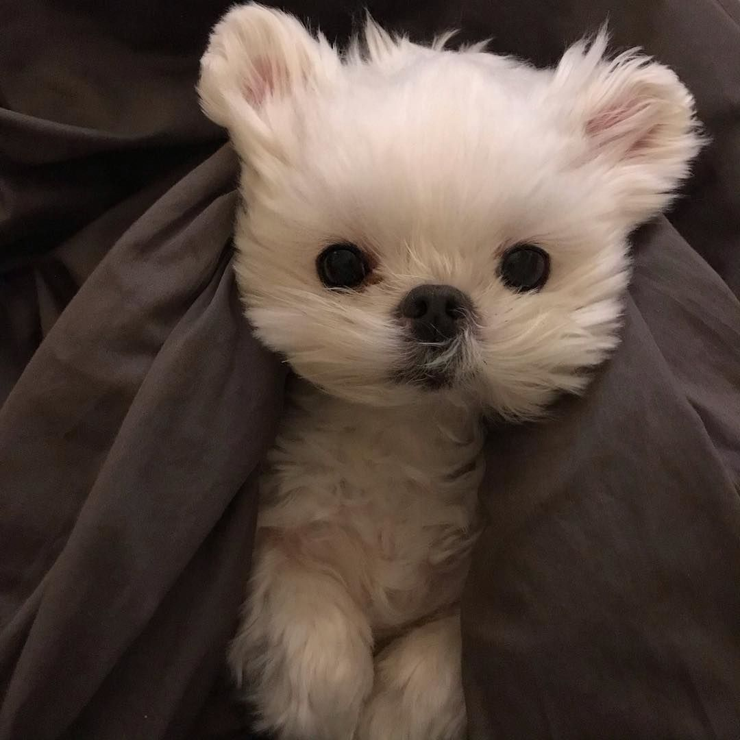 Everything You Want To Know About Maltese Including Grooming Training Health Problems History Adoption Finding Good Breeder And More Calm Dog Breeds Maltese Poodle Maltese Dogs