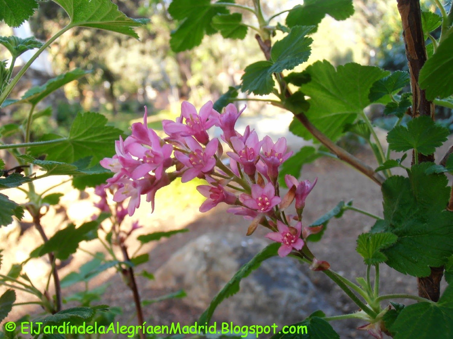 El jardín de la alegría : Groselleros ornamentales (Ribes sanguineum 'King E...