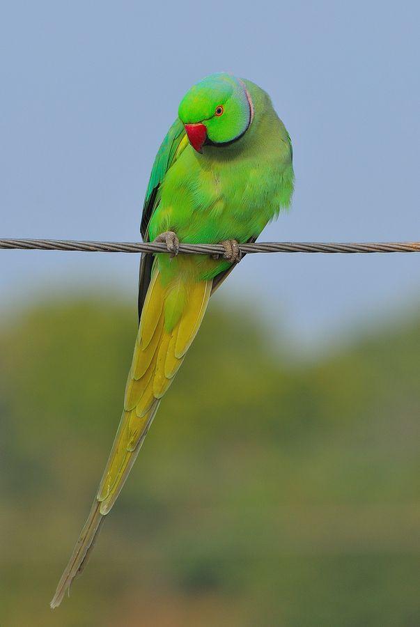 Indian ringneck. (With images)   Green parrot bird, Pet