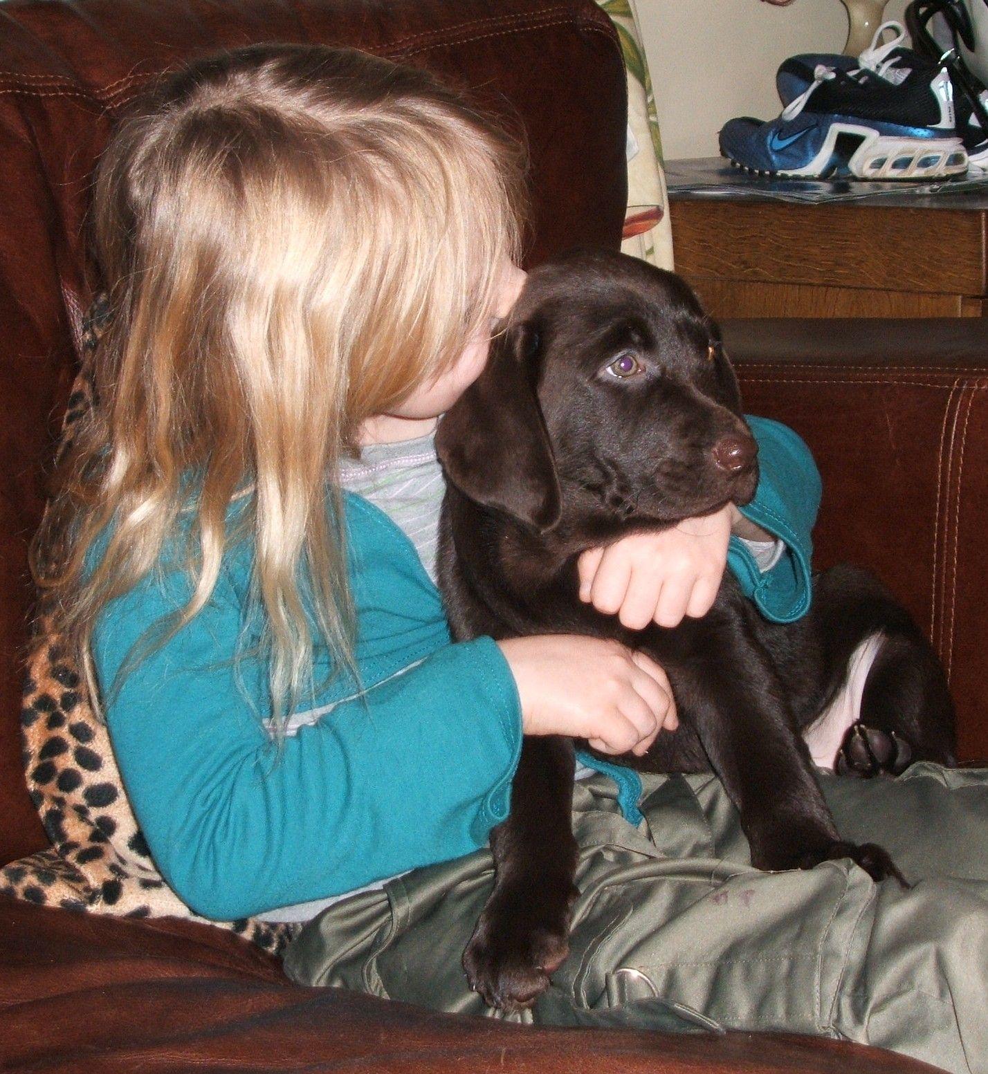 Uk Labrador Breeders Chocolate Labrador Puppies For Sale Labrador Puppies For Sale Labrador Puppy Labrador Breeders