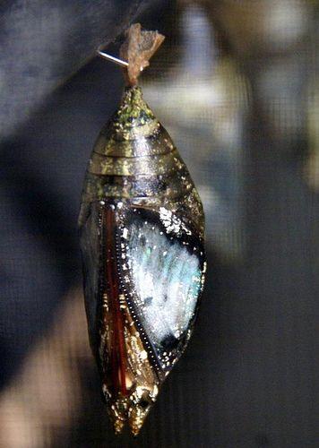 Cocoon Kokon Schmetterling Insekten Und Tiere
