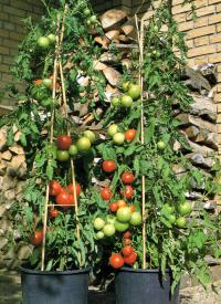 Obst Balkon   Obst Und Gemuse Auf Dem Balkon Gemuseanbau Gemuseanbau Der