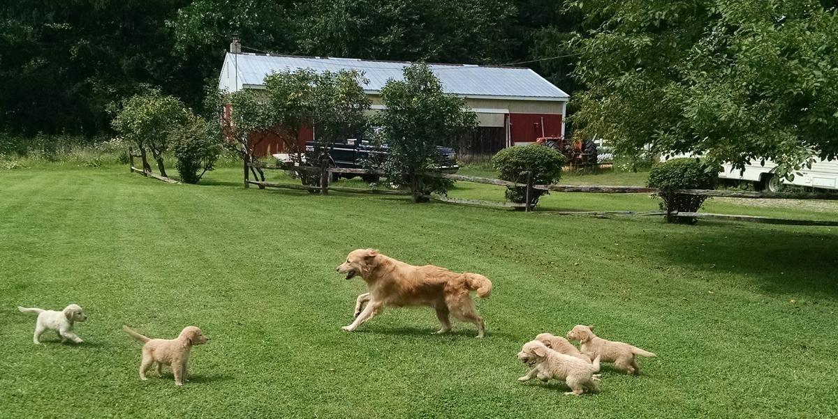 Akc Golden Retriever Puppies In Kenockee Michigan Hoobly