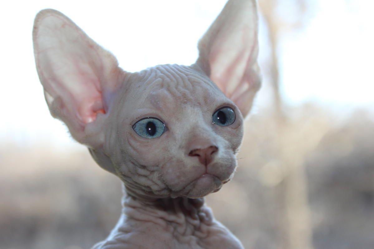 Happy And Healthy Sphynx Kittens in Louisville, Kentucky - Hoobly Classifieds