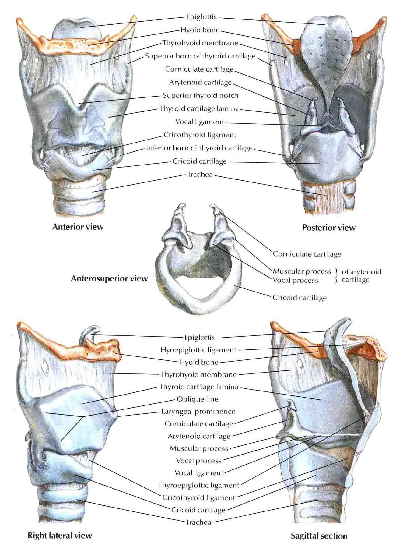 framework of the larynx - Google 검색   Therapy   Pinterest   Speech ...